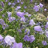 lichtnelke - Rundblättrige Glockenblume (Campanula rotundifolia) blau