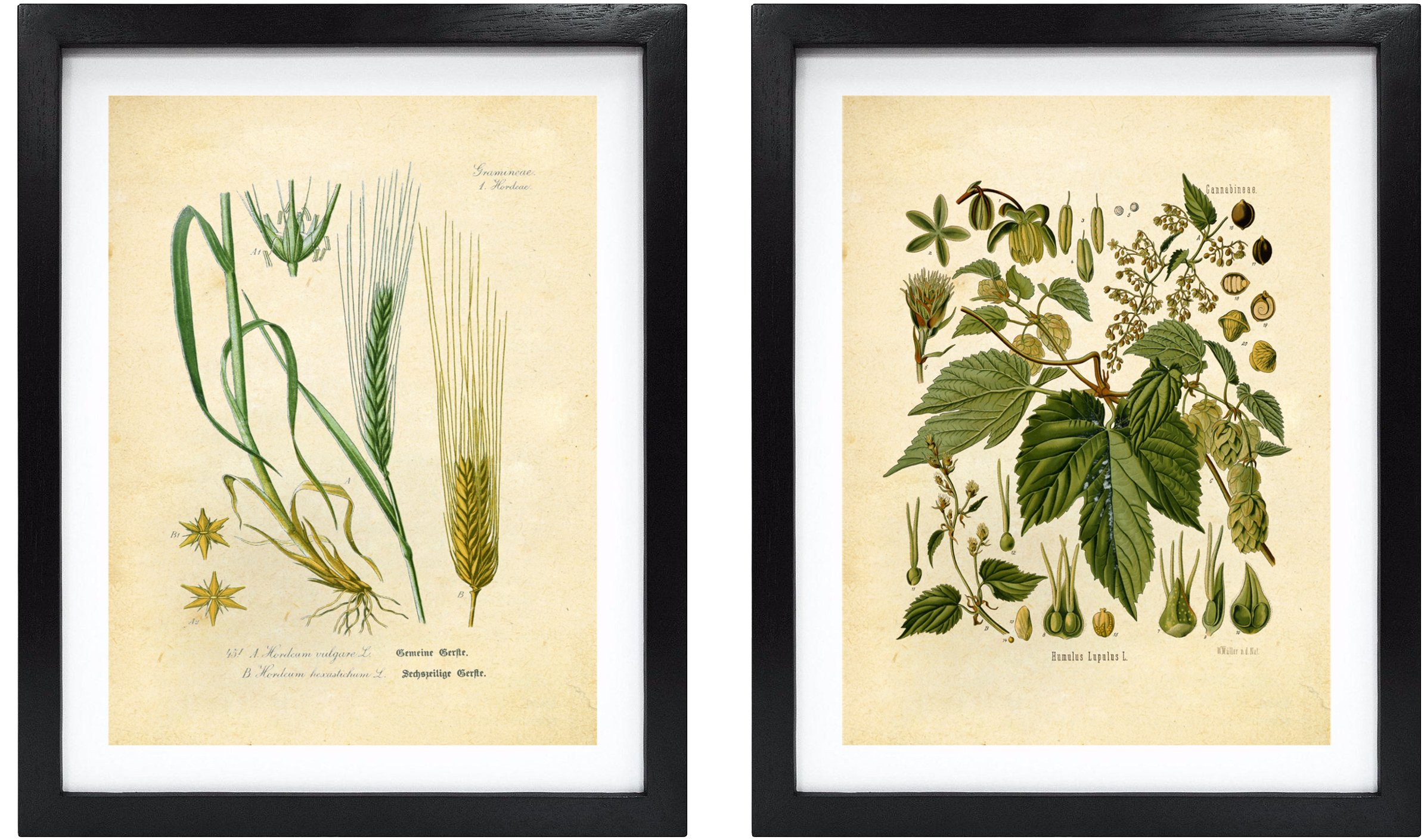 Ink Inc. Craft Beer Art Print – Hops and Barley Vintage Botanical Drawing – 8x10 Matte Unframed – Great Gift for Homebrewers and Beer Enthusiasts by Ink Inc.