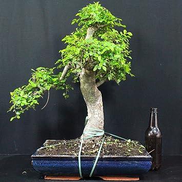 Chinesische Ulme, Ulmus parvifolia, 20 Jahre, Höhe 52 cm: Amazon.de ...