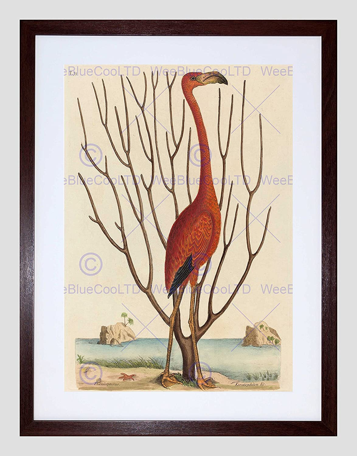 amazon mark catesby english flamingo picture framed wall art print