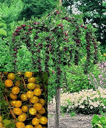 Containerware Stammh/öhe//Hochstamm 80-90 cm Ribes uva-crispa 3 St/ück Stachelbeere Hinnonm/äki gr/ün