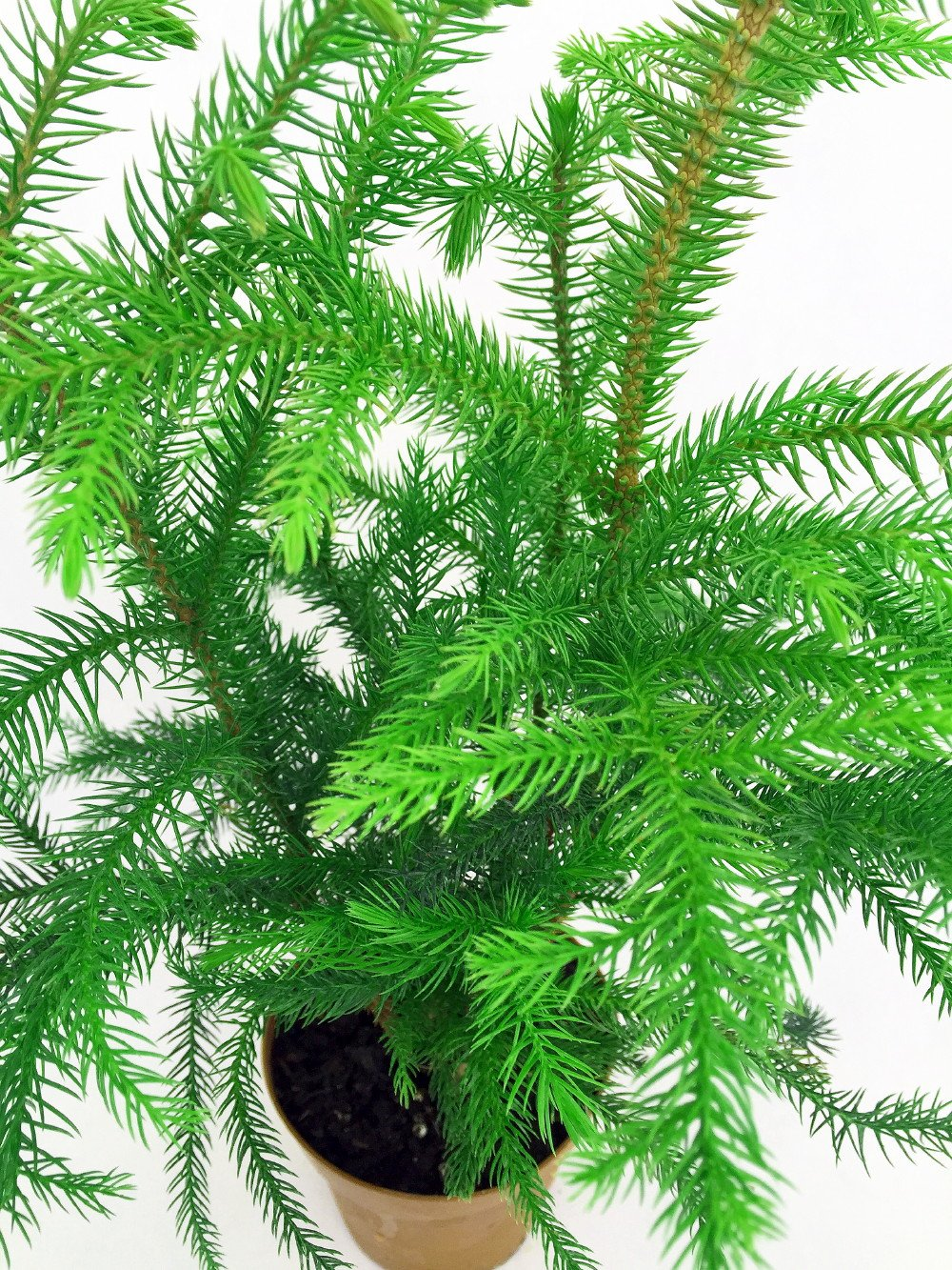 And information network araucaria heterophylla norfolk pine - Amazon Com Norfolk Island Pine The Indoor Christmas Tree 4 Pot Patio Lawn Garden