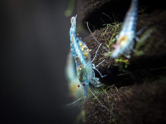 5 vivir cielo Azul Terciopelo Camarón (neocaridina Davidi) - cría edad adultos en 1/4 A 3/4 pulgadas, por acuático artes: Amazon.es: Productos para mascotas