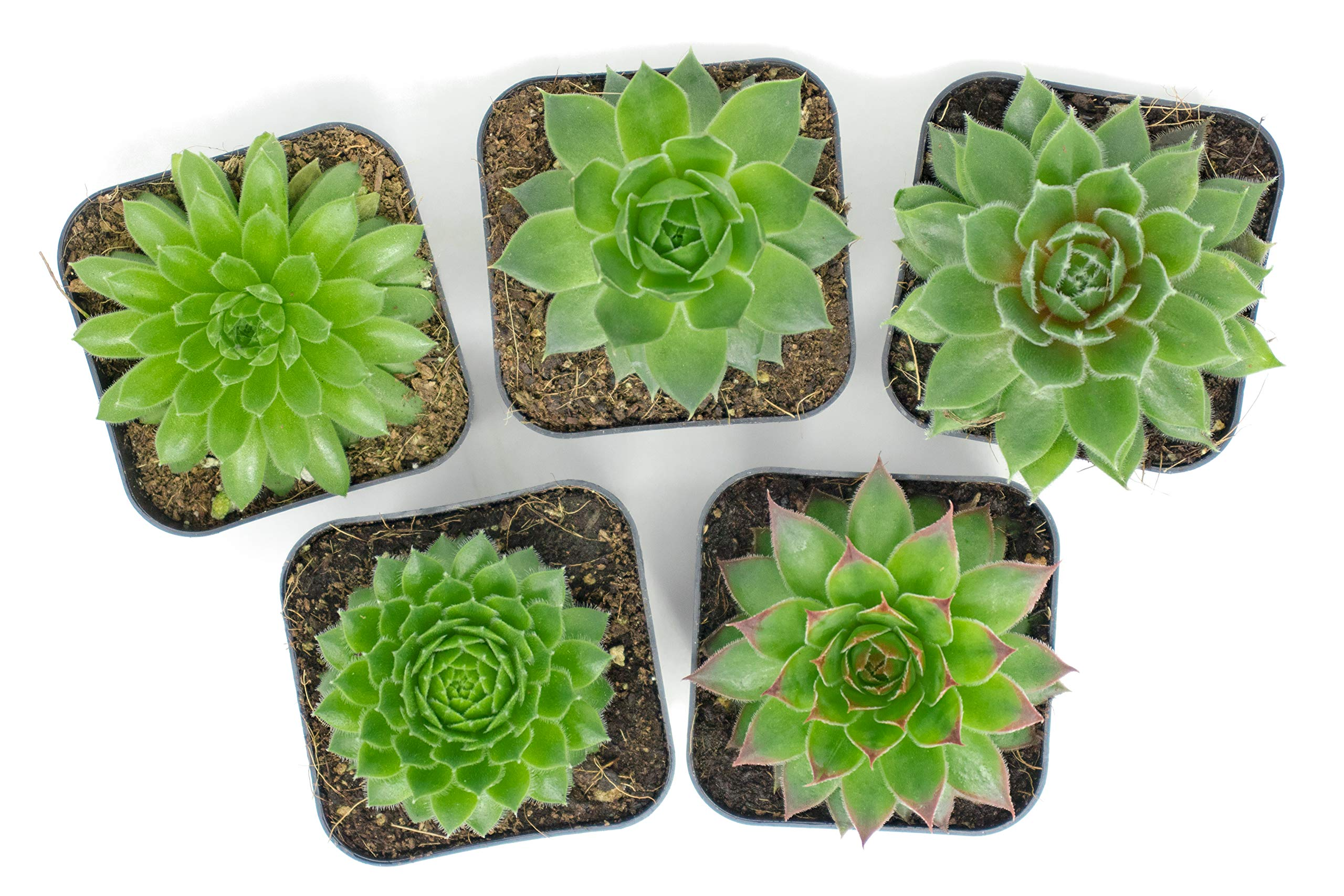 Succulent Plants | 20 Sempervivum Succulents | Rooted in Planter Pots with Soil | Real Live Indoor Plants | Gifts or Room Decor by Plants for Pets by Plants for Pets (Image #5)