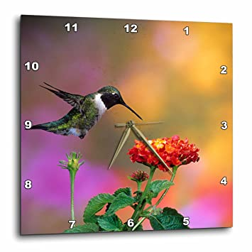 Amazon com: 3dRose Ruby-Throated Hummingbird Male At Dallas Red