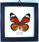 O-Bonds SHOP Real Beautiful Butterfly in Glass Framed Display Taxidermy - Single Butterfly - The Common Bluebottle (The Common Tiger)