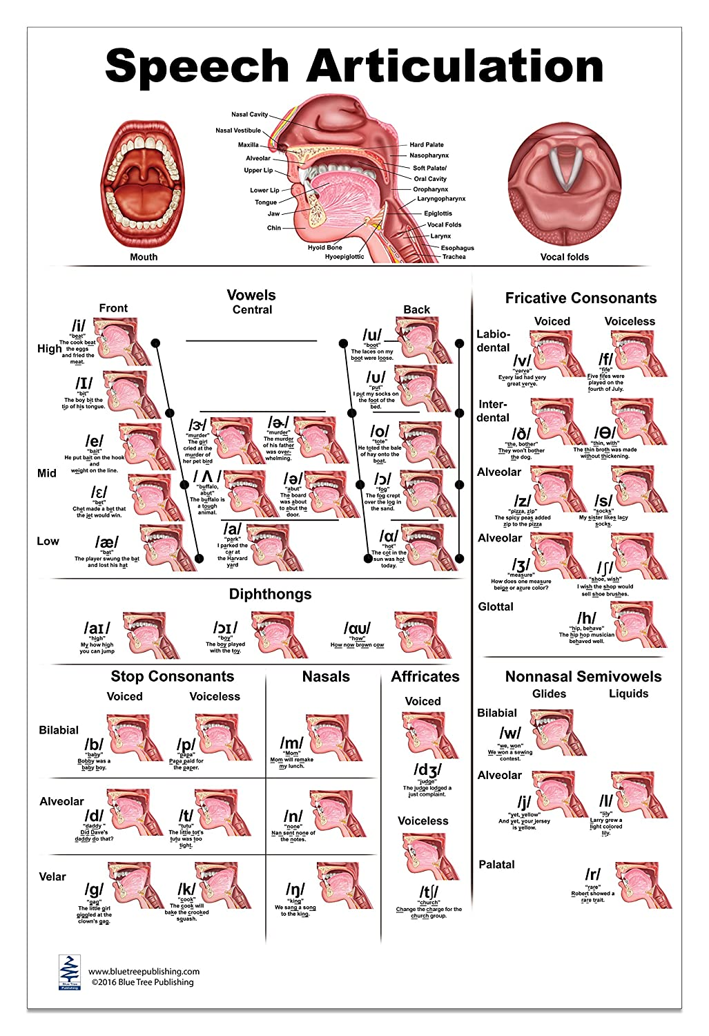 Amazon.com: Speech Articulation Anatomy Poster 24x36inch, Speech ...