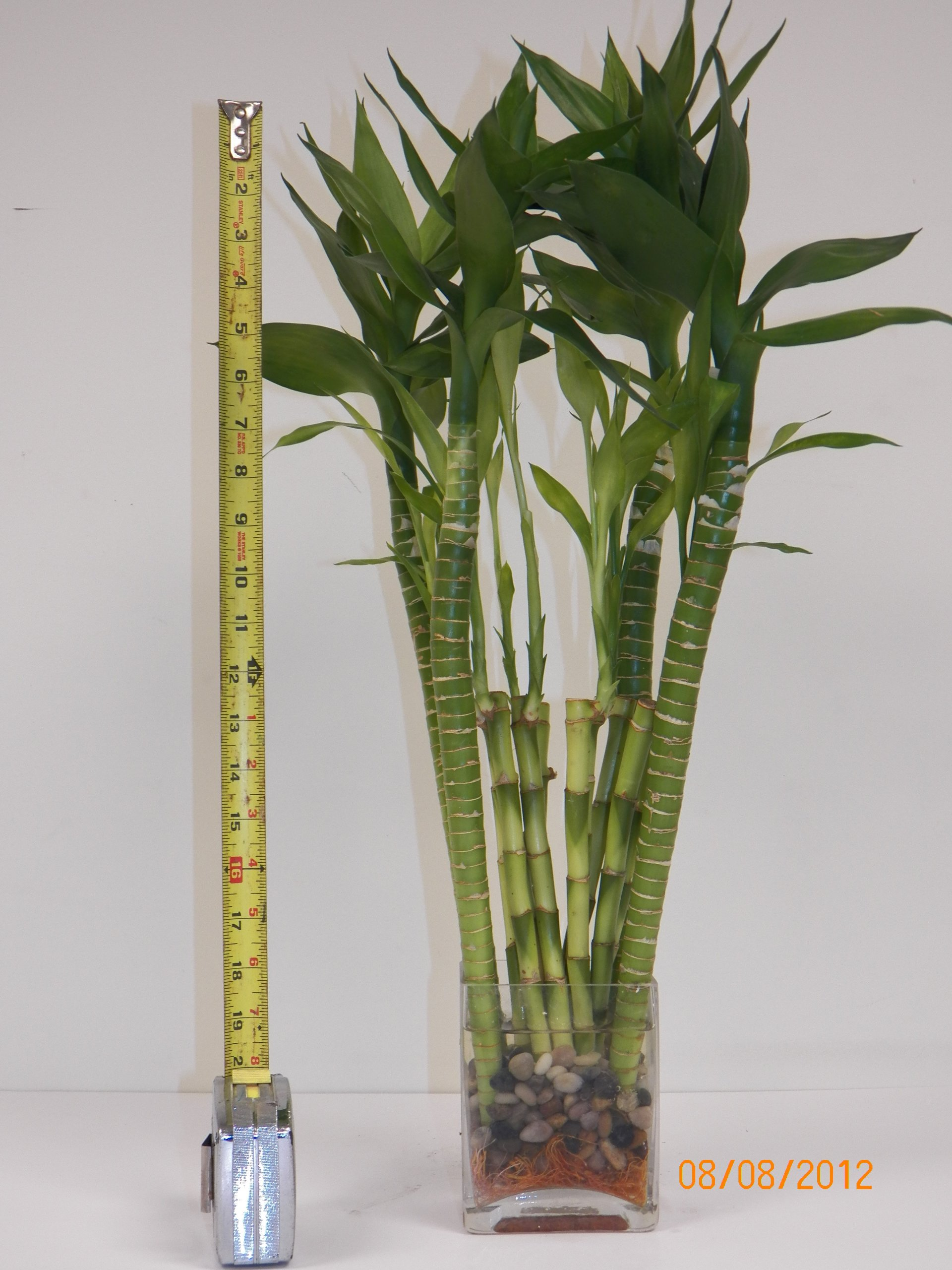 4 Lotus and 10 Stalk of 10'' Lucky Bamboo with Glass Vase