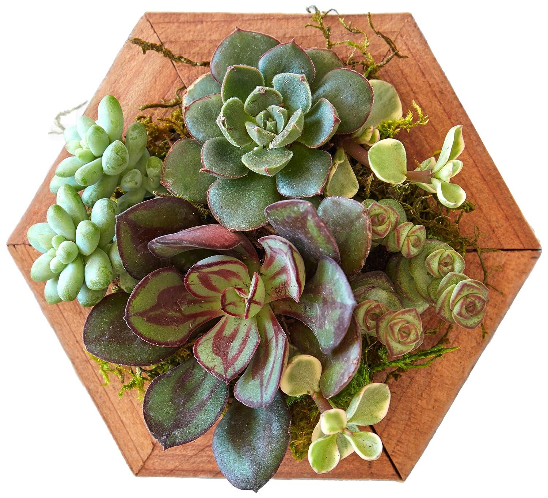 Amazon.com : Succulent Gardens Single 4\