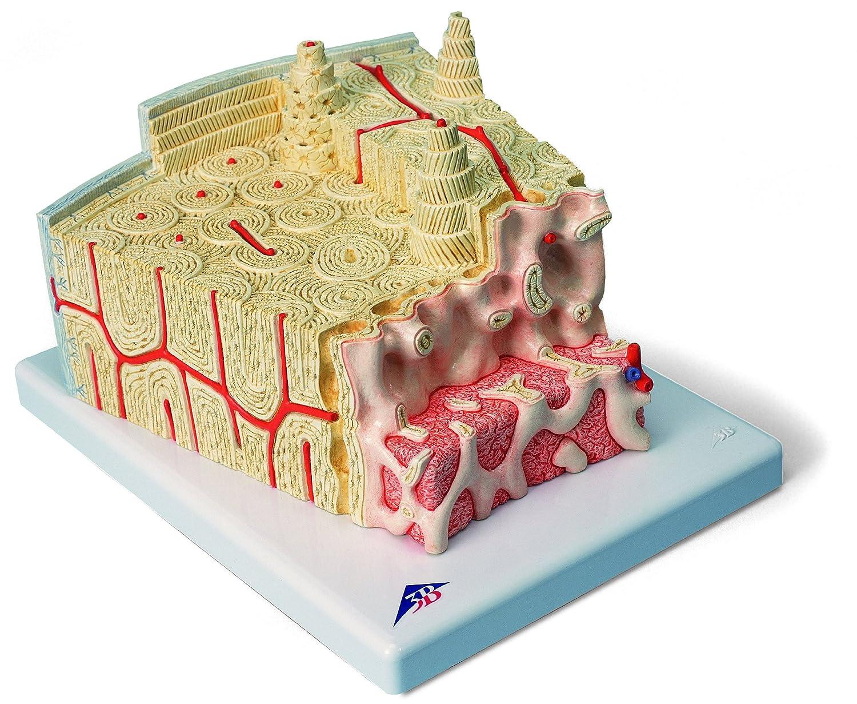 人気TOP 骨の構造モデル B007NCUEVS B007NCUEVS, ヤクモムラ:2e514ab3 --- a0267596.xsph.ru