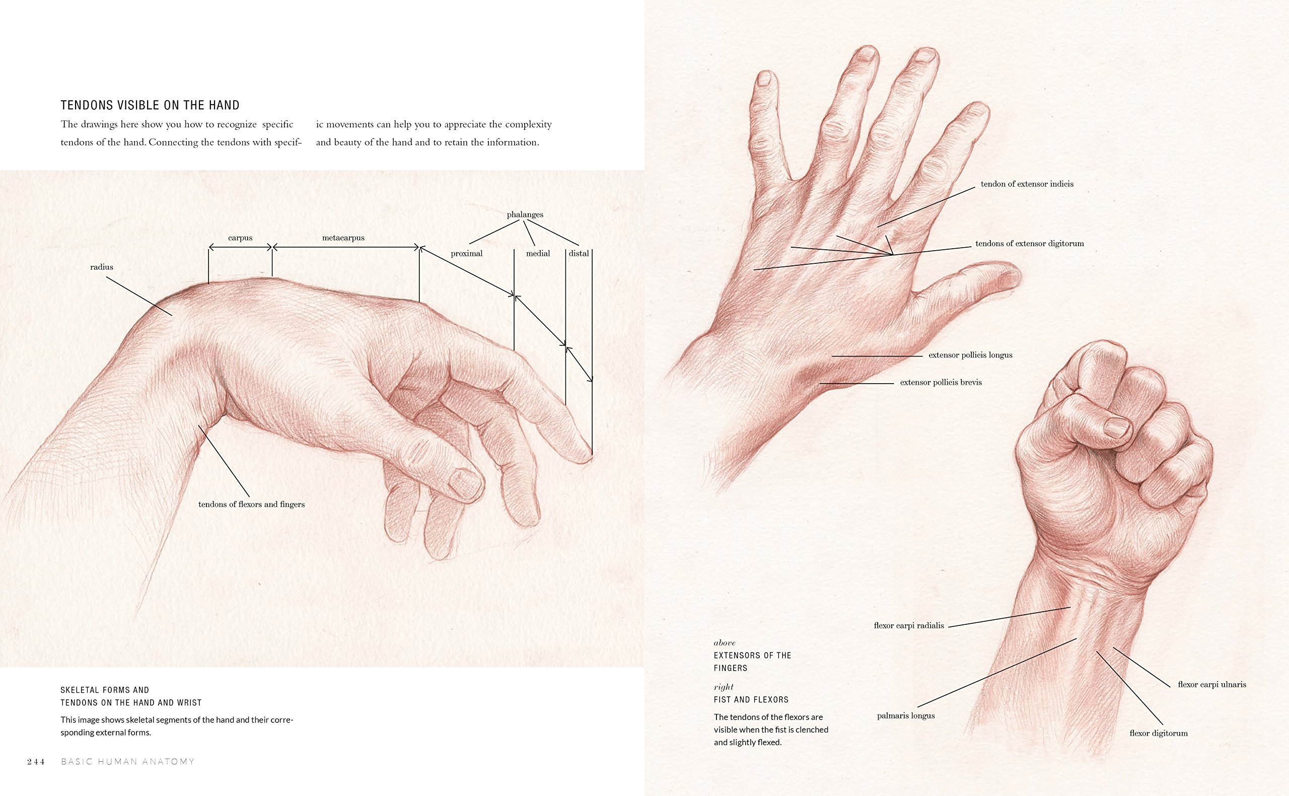Basic Human Anatomy: An Essential Visual Guide for Artists: Roberto ...