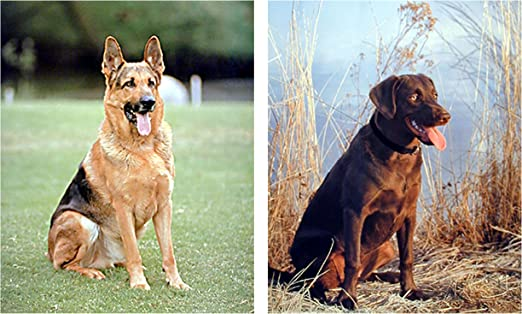 Amazon Com Impact Posters Gallery Wall Decor Art Print German Shepherd Labrador Hunting Dog Two Set 8x10 Poster Posters Prints