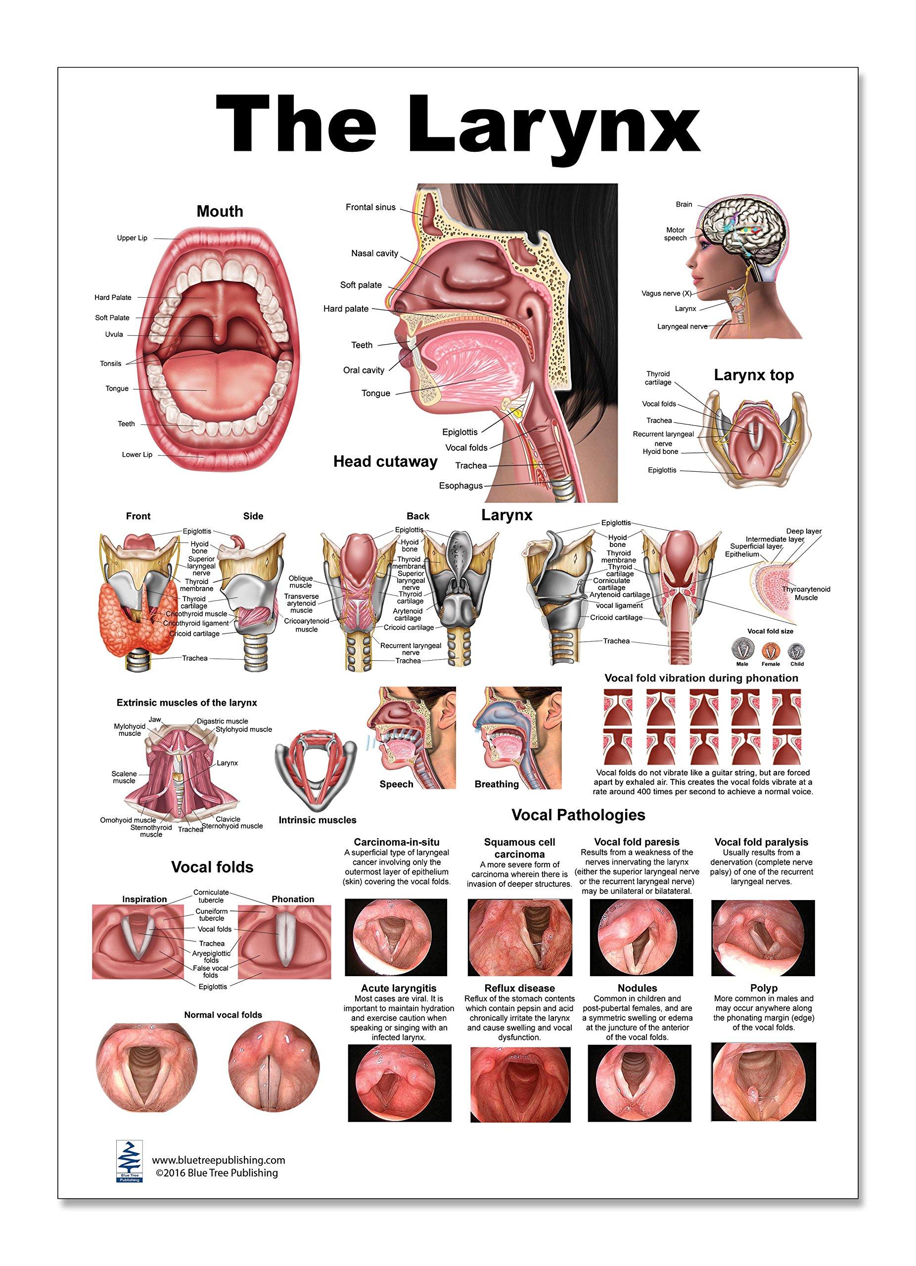 Gemütlich Larynx Zeitgenössisch - Anatomie Und Physiologie Knochen ...