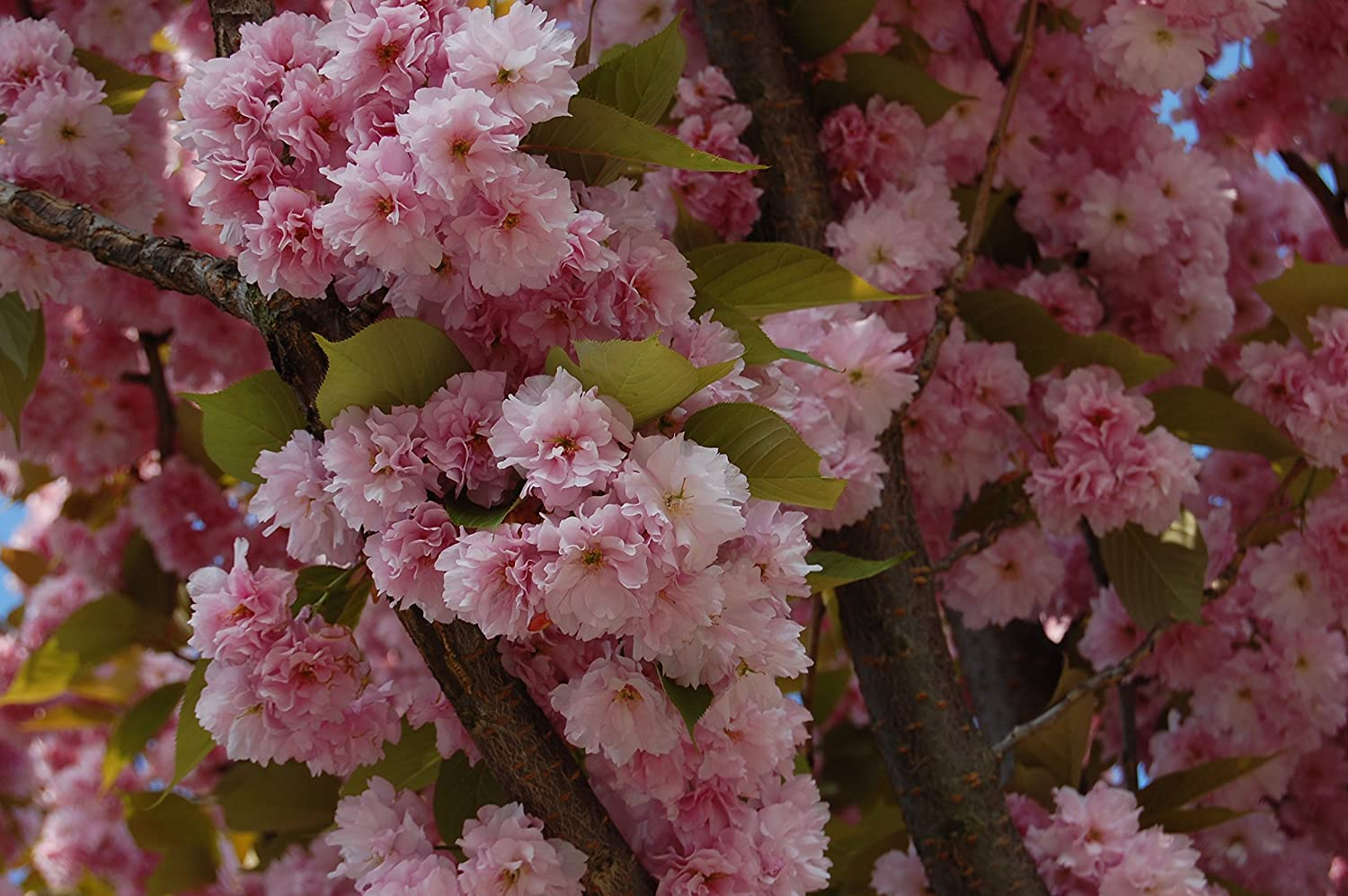 Amazon Prunus Serrulata Japanese Sakura Flowering Cherry