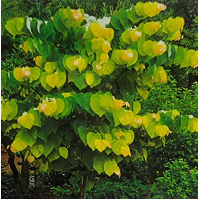 Rising Sun Redbud Tree 2 Year Old 4-5 Ft Tall : Garden & Outdoor