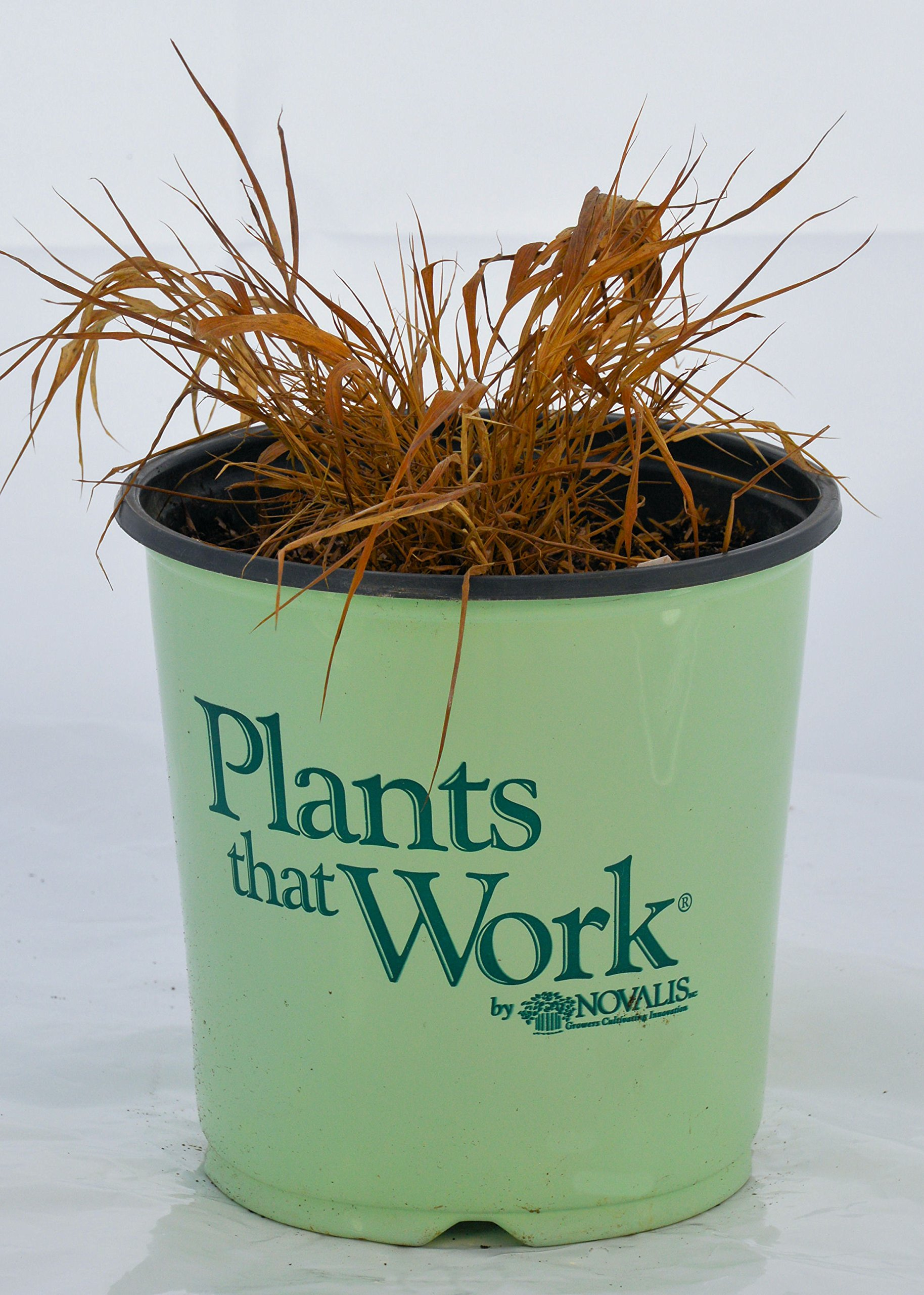 Plants that Work Gold Japanese Forest Grass - Grass - H.M. All Gold - 19cm by Premier Plant Solutions (Image #2)