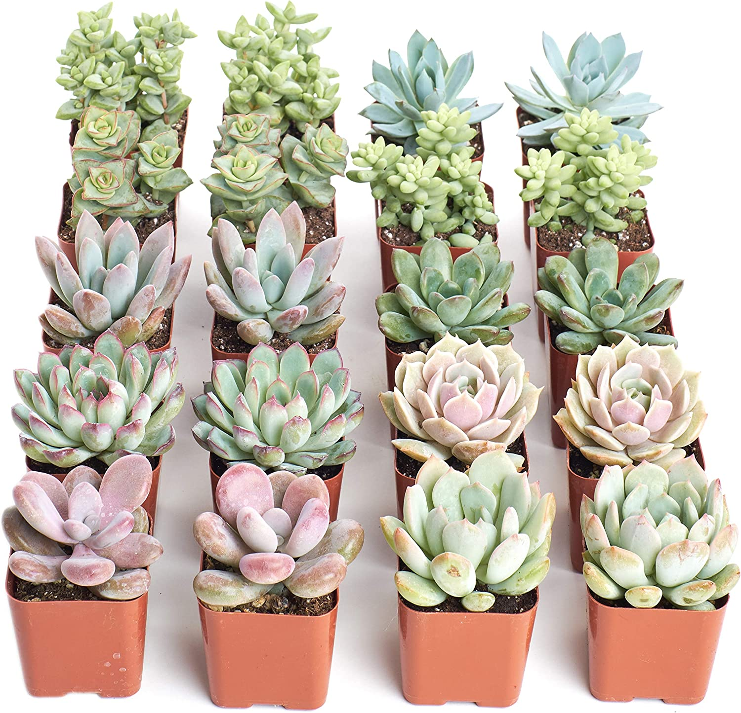 Amazon Com Shop Succulents Premium Pastel Collection Of Live