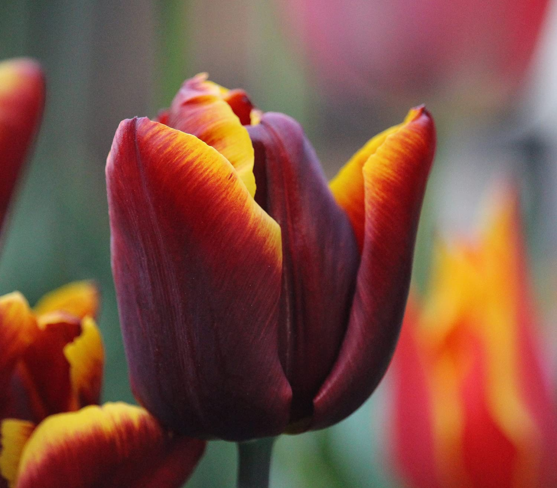 Tulpenzwiebeln Abu Hassan (10 Blumenzwiebeln) Blumenhandel Ullrich