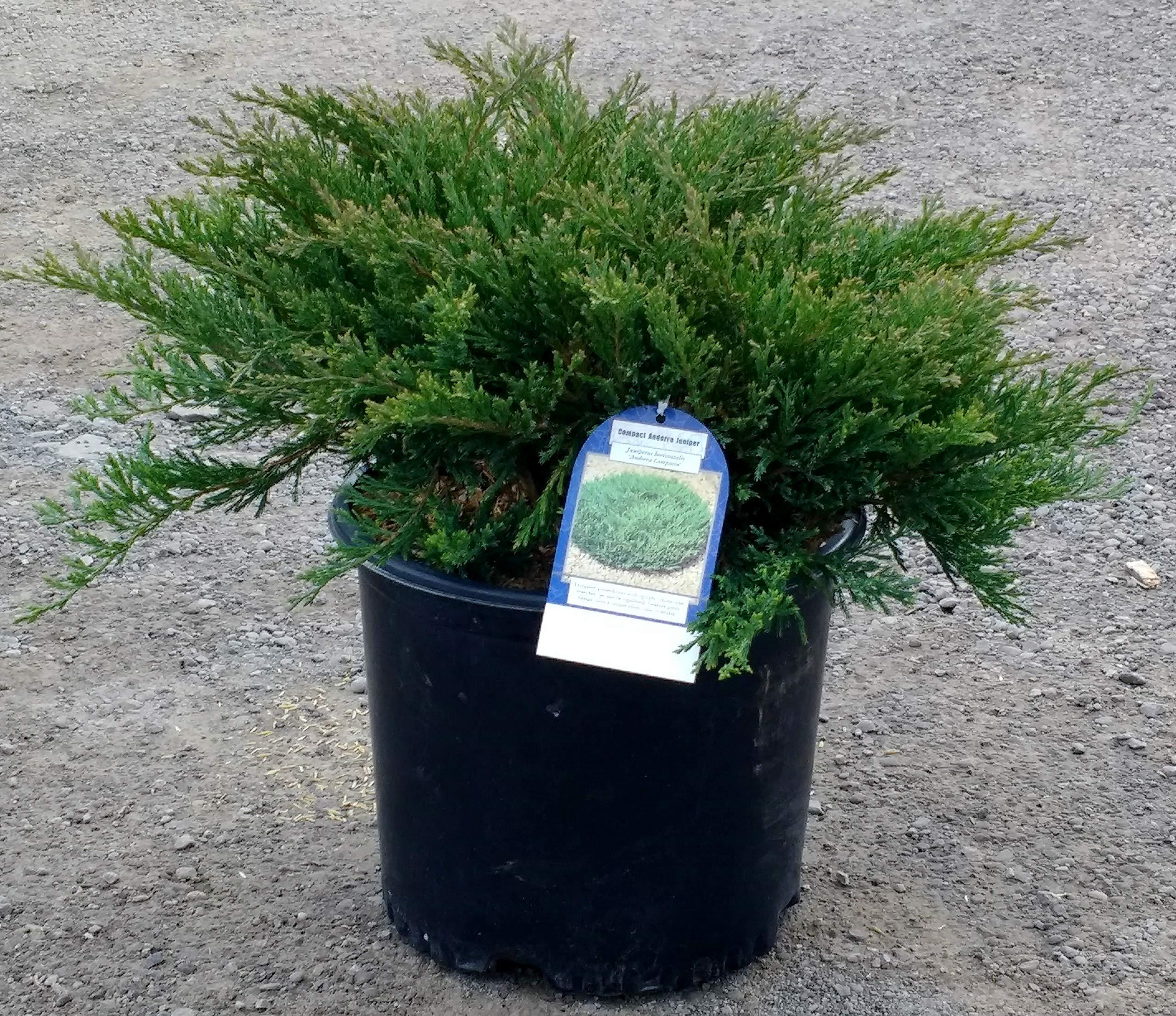 Compact Andorra Juniper - Low-Growing Evergreen Groundcover - 3 Gallon Pot