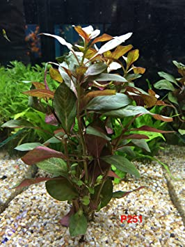 Exotic Live planta acuática para agua dulce Acuario Ludwigia peruensis diamond maceta P251 por