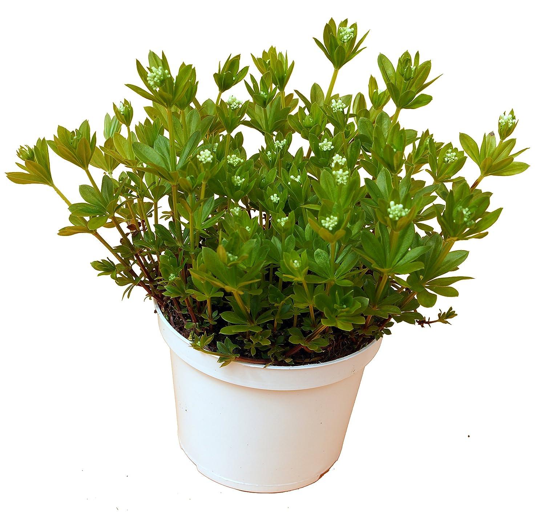 Waldmeister Galium odoratum Asperula odorata