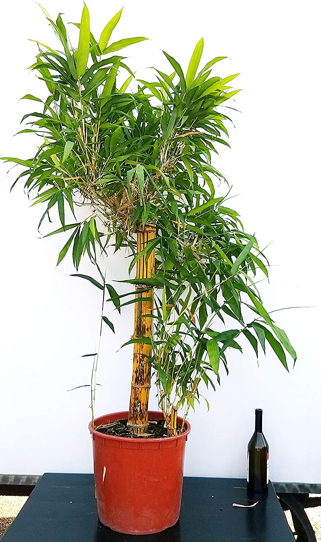 Piante Da Appartamento Bambu.Bambu Da Appartamento Gigante Pianta Vera Amazon It Giardino E