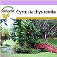 SAFLAX - Palmera canaria - 10 semillas - Cyrtostachys renda