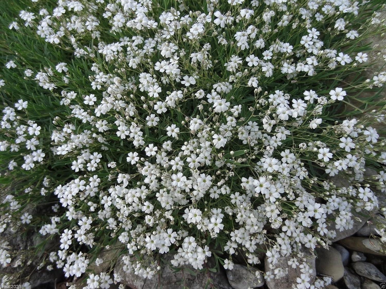Amazon 200 Creeping Babys Breath White Flowers Gypsophila