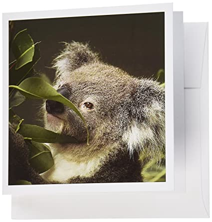Amazon 3drose koala sydney new south wales australia au01 3drose koala sydney new south wales australia au01 dwa4590 david wall m4hsunfo