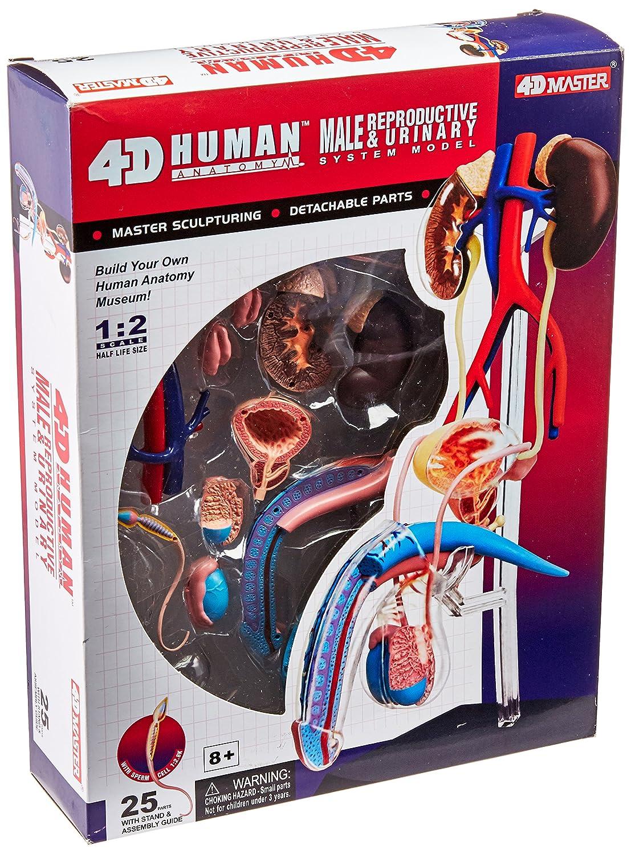 Amazon.com: Famemaster 4D-Vision Human Male Reproductive Anatomy ...