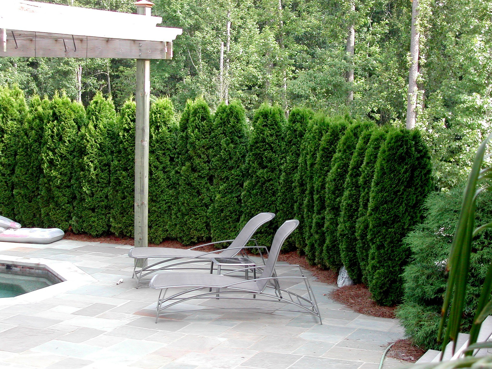 Thuja Emerald Green Arborvitae Qty 60 Live Plants Evergreen Privacy Hedge by Florida Foliage