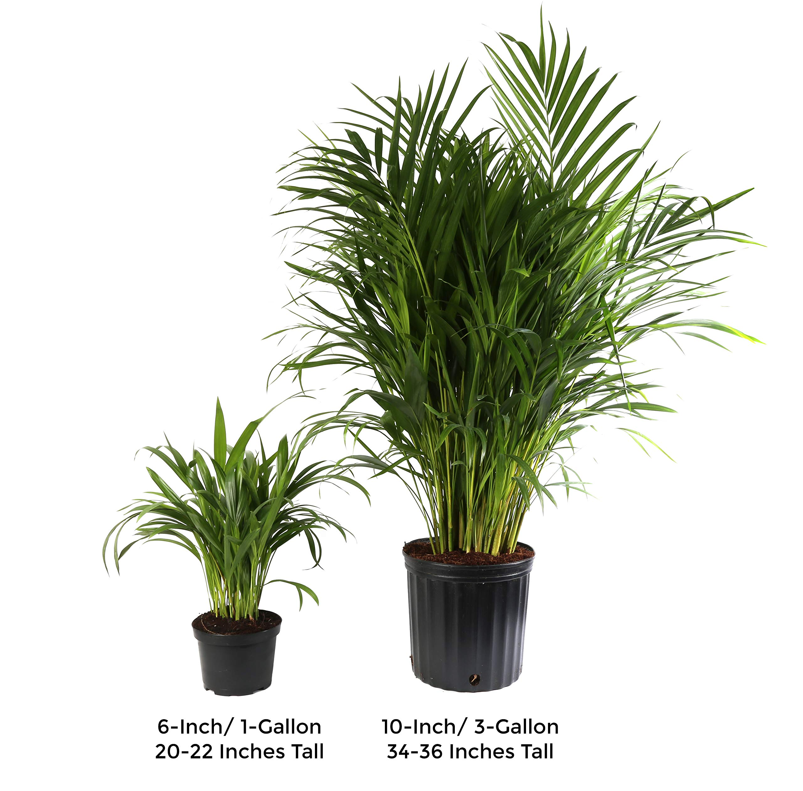 Costa Farms Live Areca Palm in Decor Planter, 3-Foot, White-Natural by Costa Farms (Image #4)