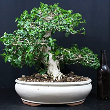 Premna mycrophylla, Bonsaï d\'intérieur, 21 ans, hauteur 35 cm ...