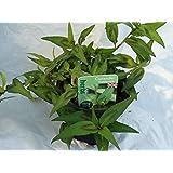 Vietnamese Coriander herb plant asian cuisine soups salads 9cm pot FREE DELIVERY