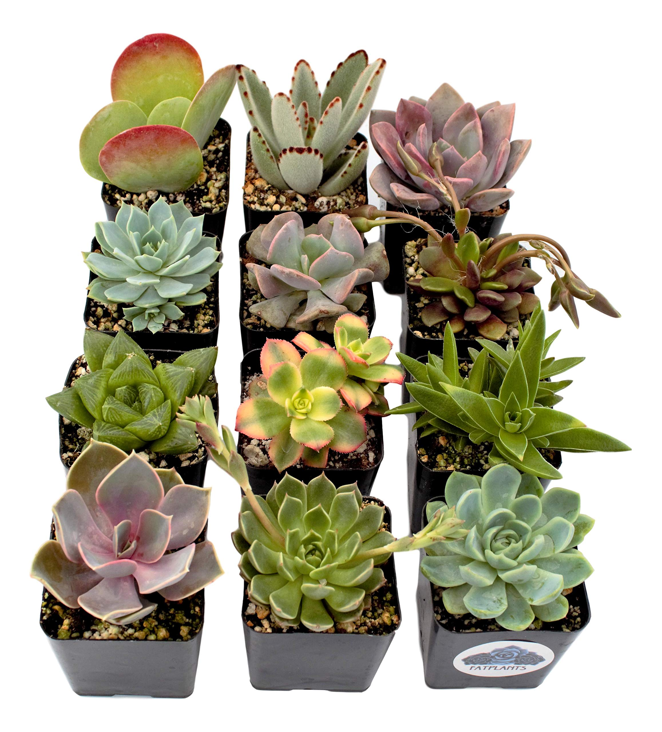 Fat Plants San Diego Premium Succulent Plant Variety Package. Live Indoor Succulents Rooted in Soil in a Plastic Growers Pot (12) by Fat Plants San Diego