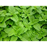 2 LEMON BALM Live Plants Herb Plant Non-GMO Organic - TWO [2] LIVE PLANTS fit 3.5 Inches Pot - w FREE GIFT Green Selfwatering Pot - From Bellacia Garden