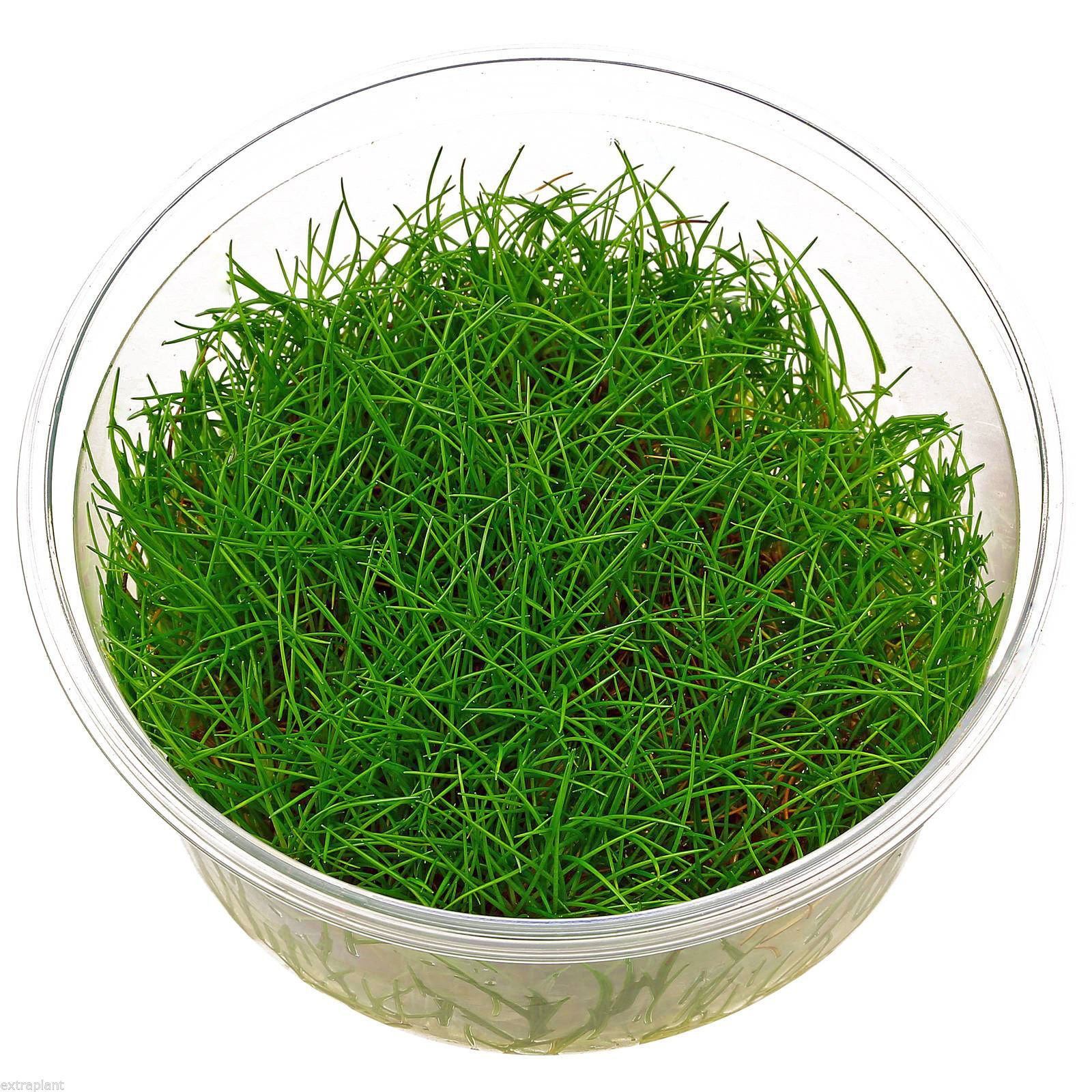 Eleocharis sp. Mini in Tissue Culture Dwarf Hairgrass Mini Live Aquarium Plants