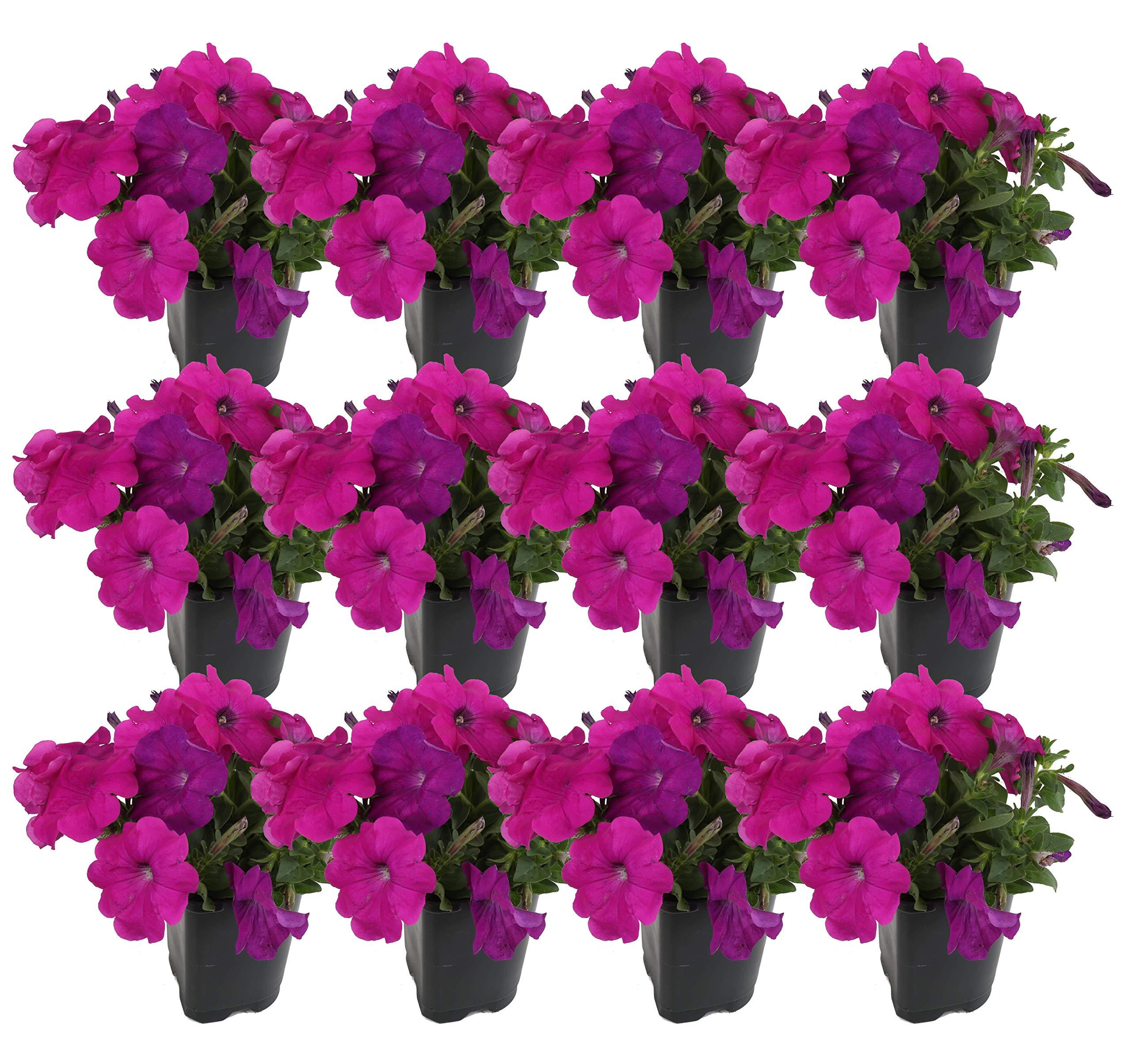 Costa Farms Petunia Live Outdoor Plant 1 PT Grower's Pot, 12-Pack, Purple