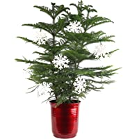 Costa Farms Live Indoor Christmas Tree, Ships with Red Planter and White Snowflakes, Fresh from Our Farm, Great as Holiday Gift or Christmas Decoration