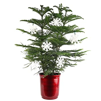 costa farms live indoor christmas tree 3 feet tall ships with red planter