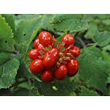 500 STRATIFIED AMERICAN GINSENG SEED. Grow your own wild plants