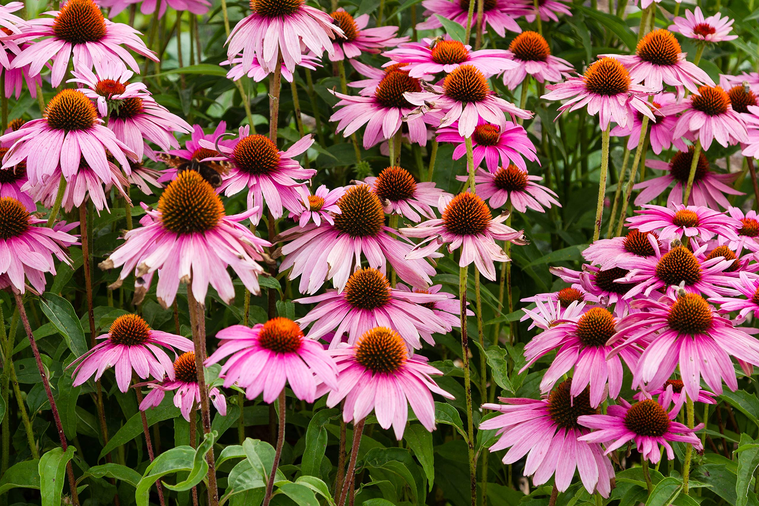 Sweet Yards Seed Co. Purple Coneflower Seeds - Bulk One Pound Packet - Over 50,000 Open Pollinated Non-GMO Wildflower Seeds - Echinacea purpurea