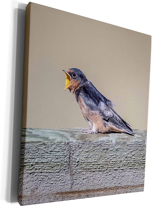 3dRose Danita Delimont - Birds - USA, Montana, Barn Swallow fledgling begging for food - Museum Grade Canvas Wrap (cw_231112_1)