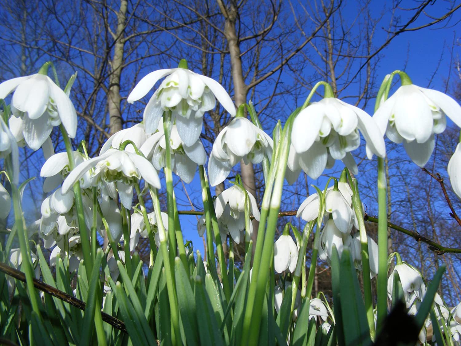 Snowdrops single Flowered - 50 bulbs Lincolnshire Grown The Wolds Collection