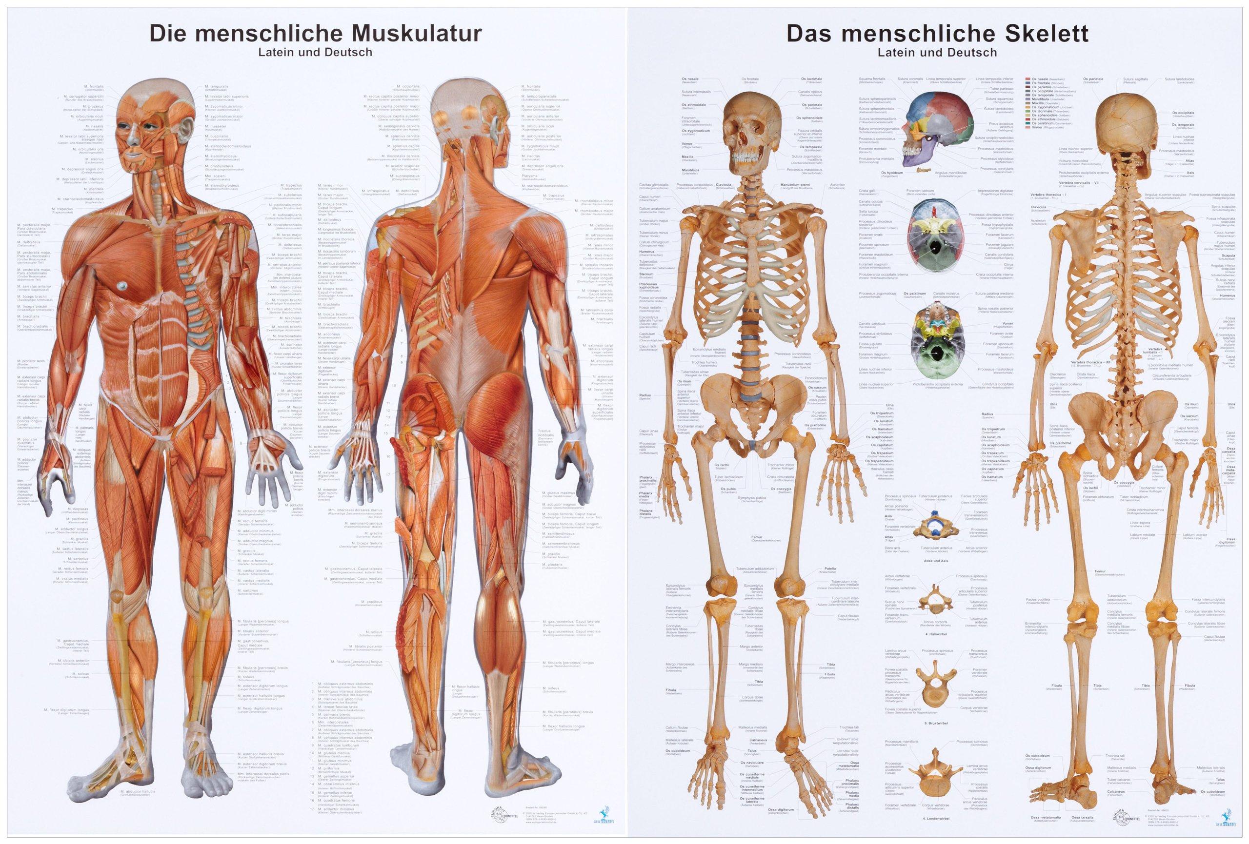 Anatomie-Lehrtafeln im Doppelpack \' Die menschliche Muskulatur \' und ...