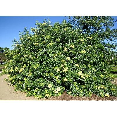 Sambucus Caerulea Blue Elderberry Edible Berries Juicy Fruit 20 Seeds: Beauty