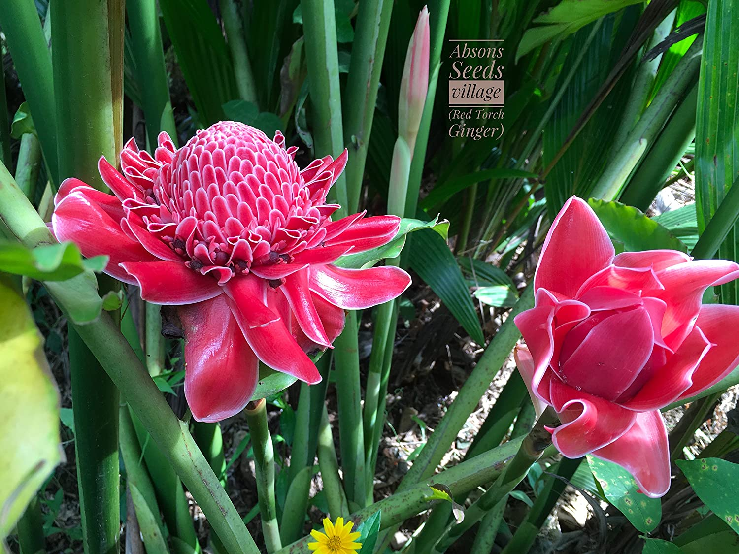 Red Torch Ginger Red Ginger Lily Torch Lily Wild Ginger Combrang