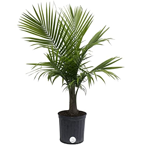 Costa Farms Majesty Palm Live Indoor Floor Plant In 8.75 Inch Grower Pot