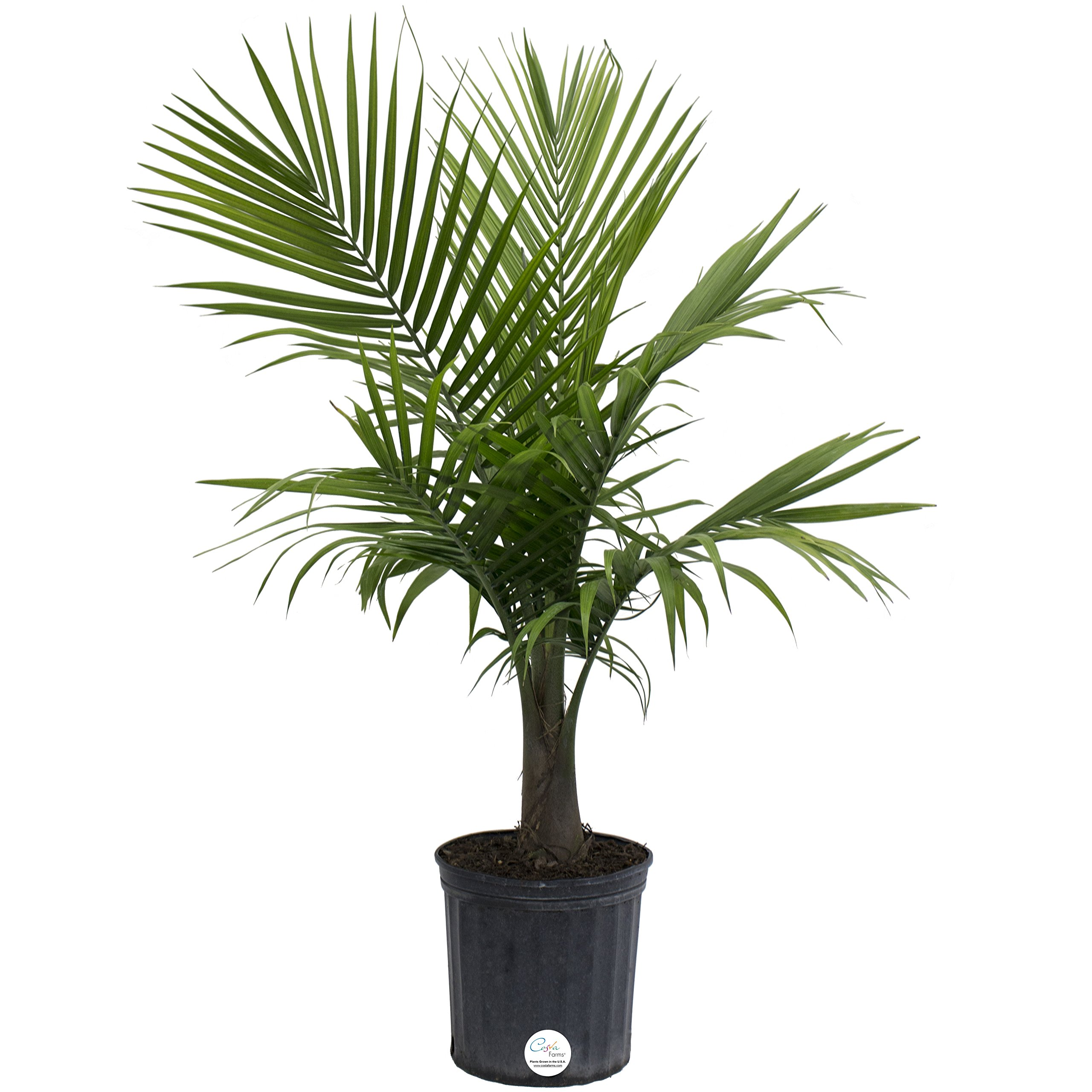 Costa Farms Majesty Palm Tree, Live Indoor Plant, 3 to 4-Feet Tall, Ships in Grow Pot, Fresh From Our Farm, Excellent Gift by Costa Farms (Image #1)