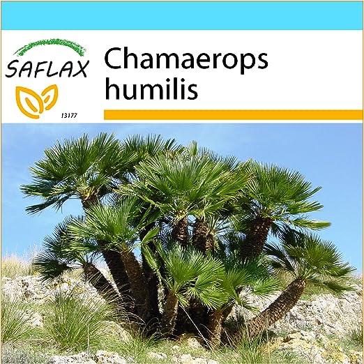 SAFLAX - Set regalo - Palma enana - 10 semillas - Chamaerops ...
